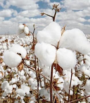 储备棉成交量回升是棉花走稳的开始吗