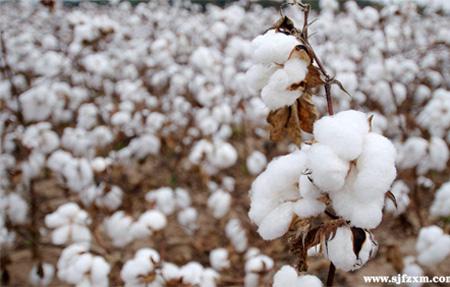 中美贸易争端升级 印度棉出口渔翁得利